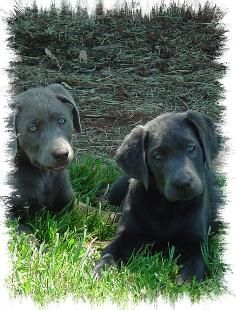 Charcoal Silver Labradors Labrador Retriever Labrador Most Popular Dog Breeds