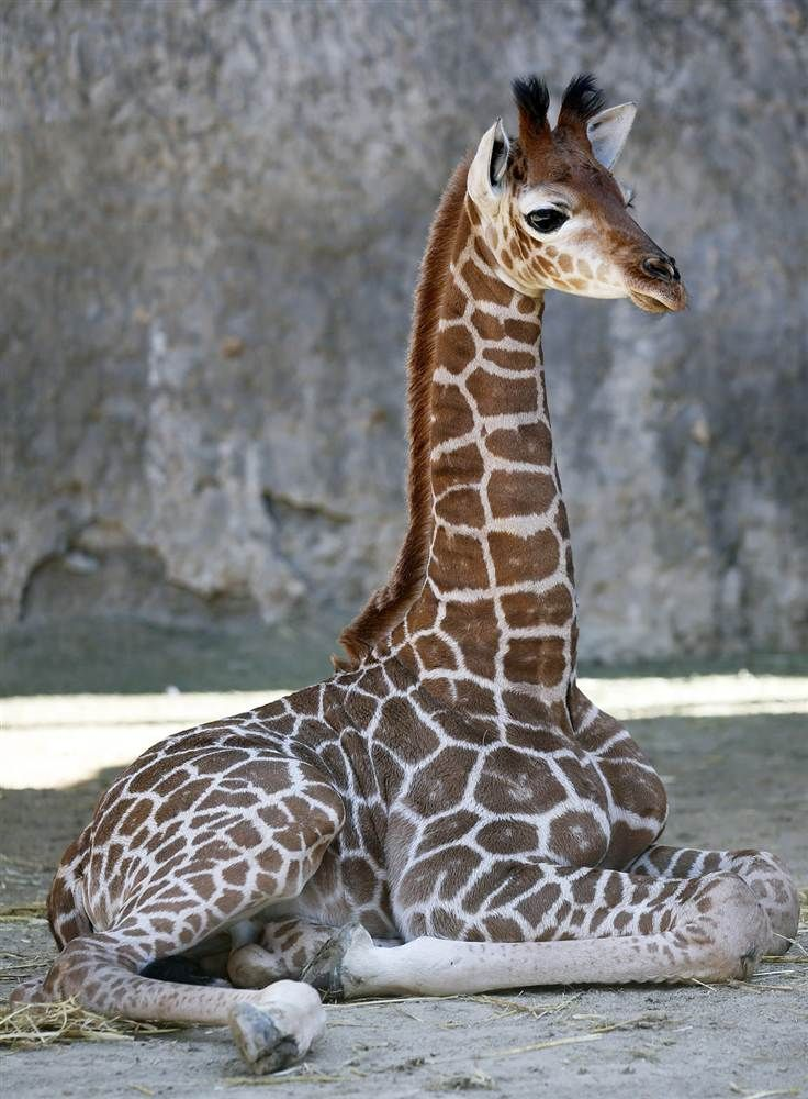 Sitting tall  A 3-week-old giraffe calf reclines at the Metropolitan Park, in Santiago, Chile, on Feb. 15. This zoo is the principal breeding center for giraffes in South America.