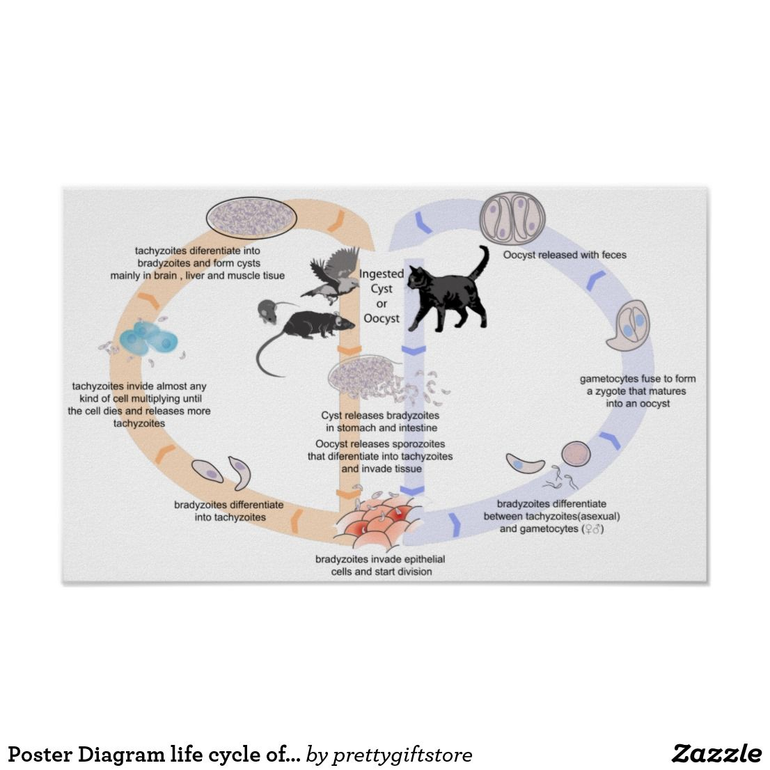 poster diagram life cycle of toxoplasma gondii
