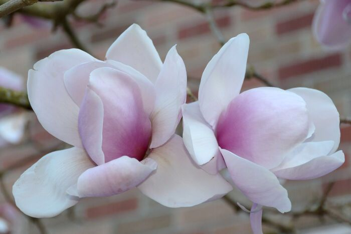 Magnolia Flower Meaning Flower Meanings Magnolia Flower Flowers