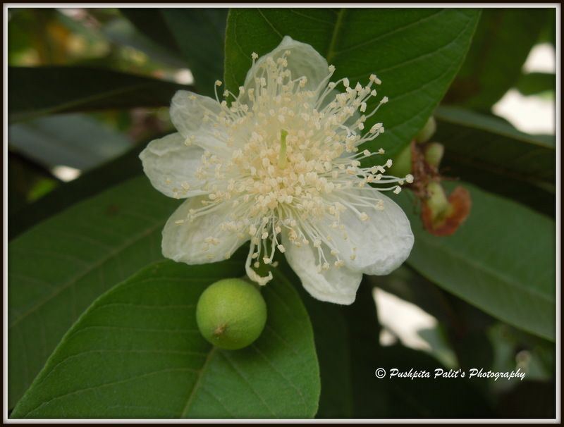 Awesome Fruit Tree Flowers Part - 14: Beautiful Flower And A Fruit On My Guava Tree