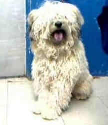 A4513092 Urgent Baby At The Lancaster Shelter Is An Adoptable Polish Lowland Sheepdog Dog In Lancaster Ca We Need D Polish Lowland Sheepdog Sheepdog Dogs
