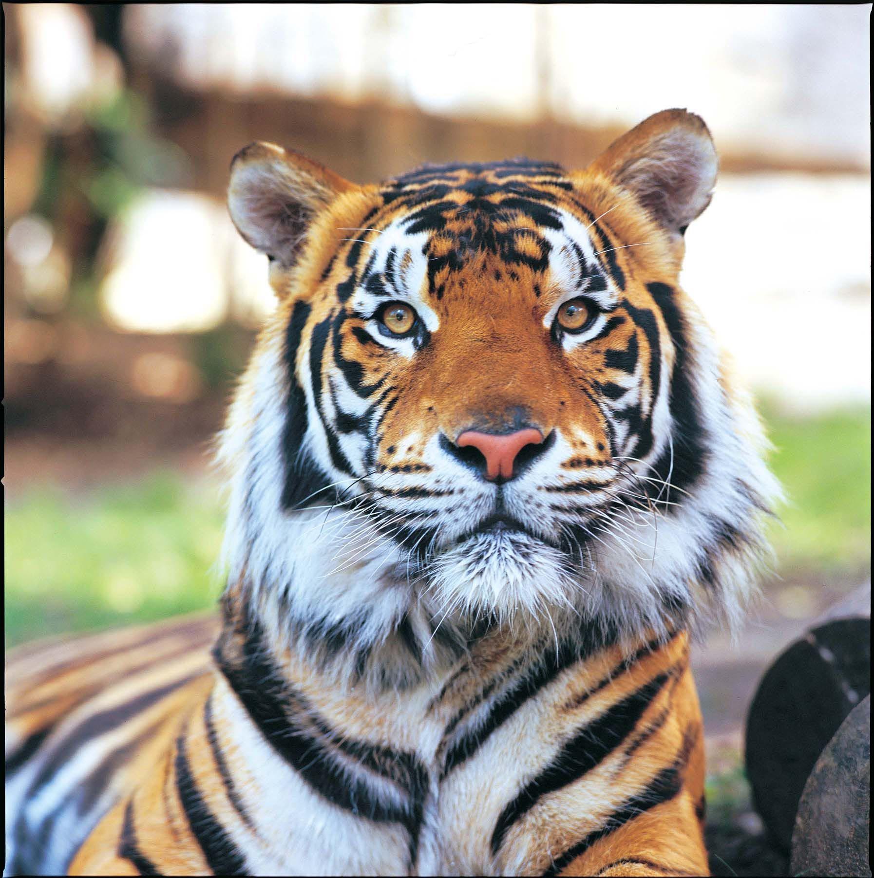 Tiger Island, Dreamworld Sumatran tiger, Tiger, Tiger face