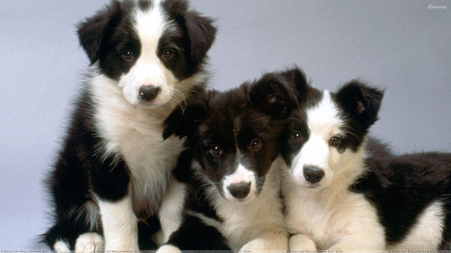 Border Collie Puppies Border Collie Puppies Cute Puppy