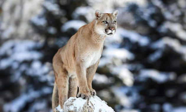 15 Amazing Animals That Start With The Letter E Mountain Lion Jungle Animals Animals