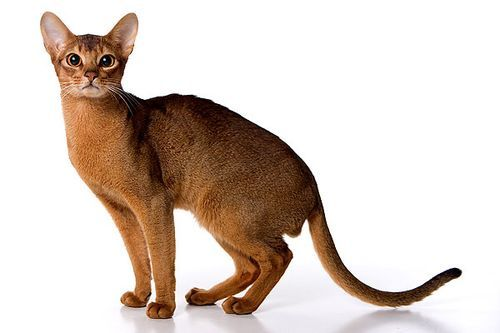 Abyssinian cats egypt