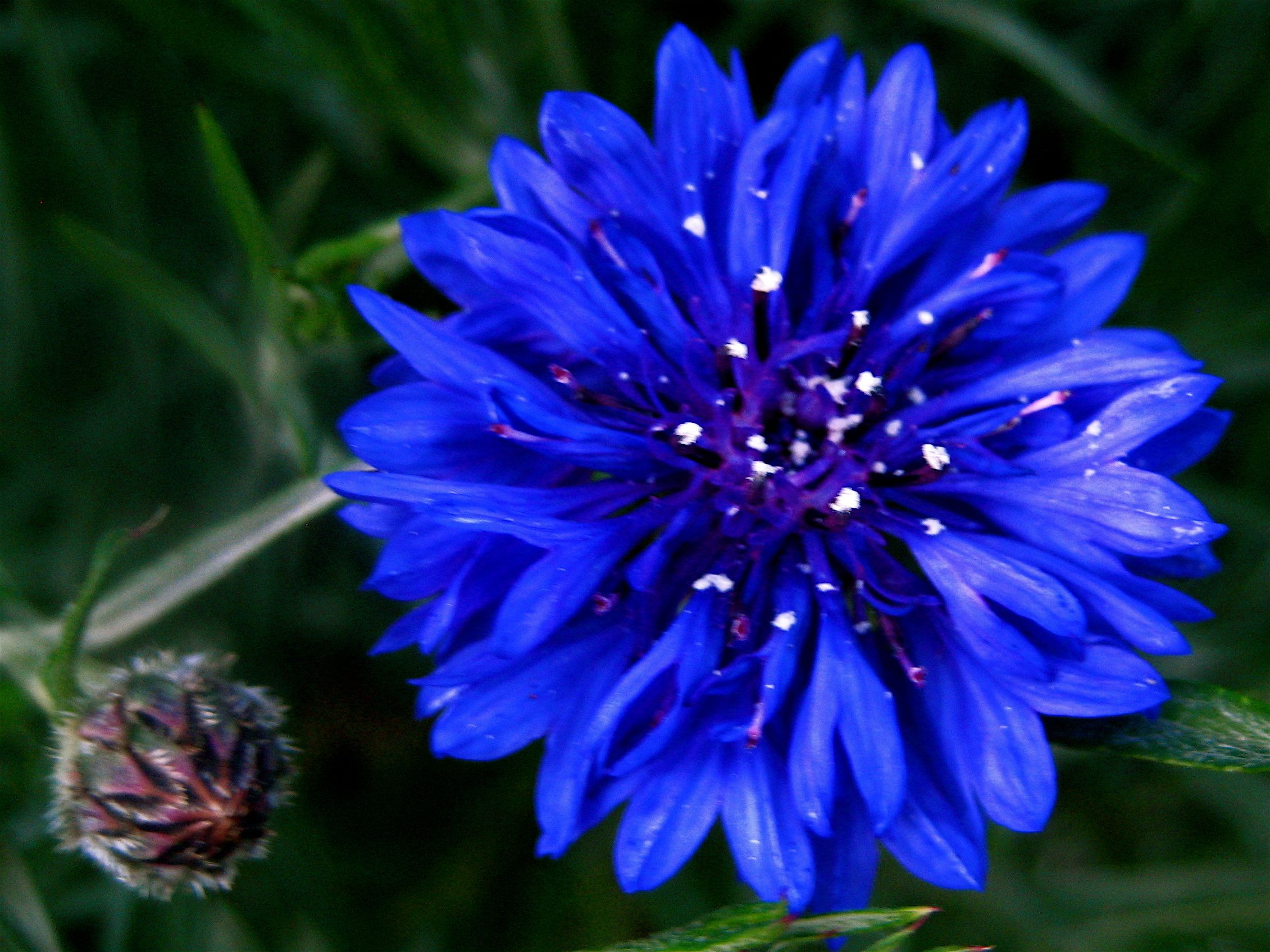 Cornflower Bachelor S Button Bachelor Button Flowers Flowers Flower Seeds