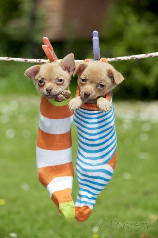 Chihuahua Puppies Hanging In Socks 4 Weeks Photographic Print