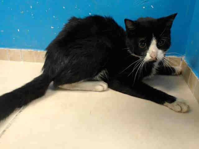 TO BE DESTROYED 8/21/13 Brooklyn Center  My name is MARVIN. My Animal ID # is A0975462. I am a neutered male black and white domestic mh mix. The shelter thinks I am about 7 YEARS old. https://www.facebook.com/photo.php?fbid=652335948111574=a.576546742357162.1073741827.155925874419253=3=1