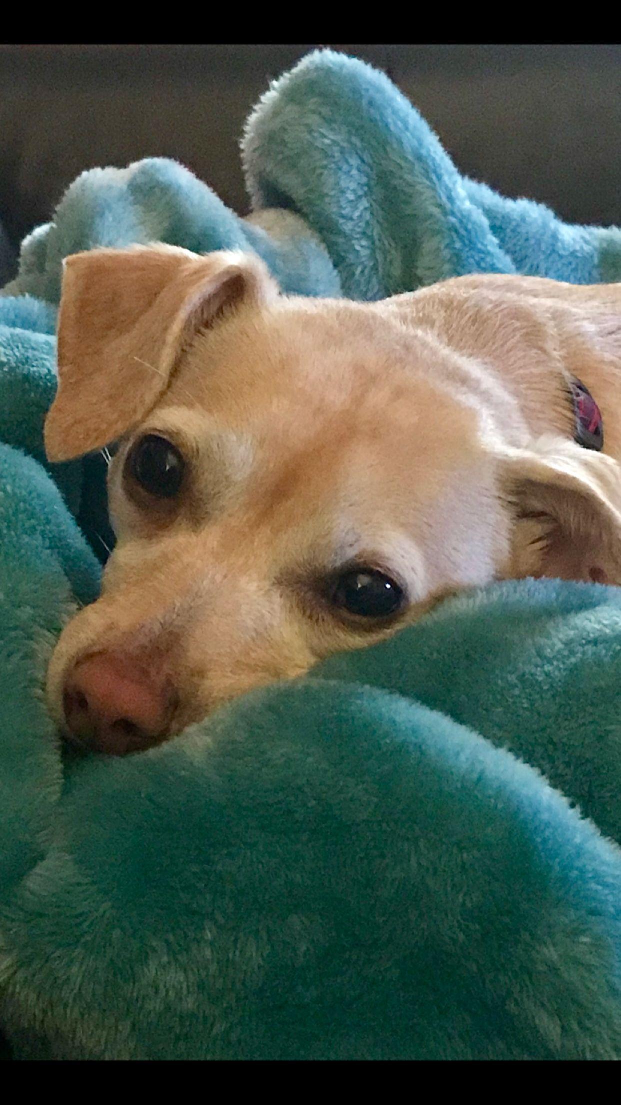 Blonde Chiweenie Chiweenie Animals Dogs
