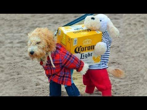 Pets In Halloween Costumes Wire Fox Terriers Best Dog