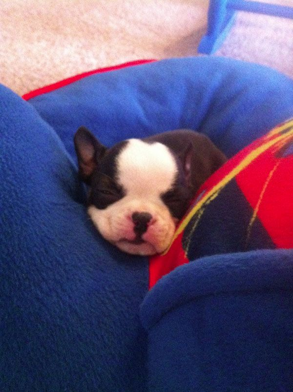 Paco The Puppy From Cordova Tn Usa Boston Terrier Love Boston Bull Terrier Puppies