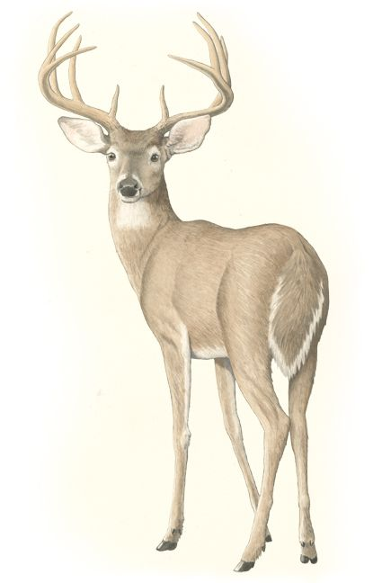 The White-Tailed Deer   Texas Monthly   Painting   Pinterest ...