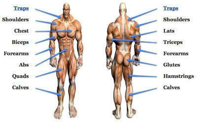 Muscle Groups Exercises Database