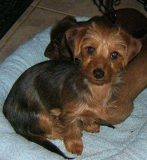 Dorkie Hope All My Babies Look Like This Dog Mixes Yorkie