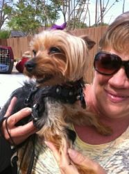 Daisy Is An Adoptable Yorkshire Terrier Yorkie Dog In Winter Haven Fl Posted 4 3 12 Daisy Is A 7 Yr Old Female Yorkie She I Yorkie Dogs Princess Dog Dogs