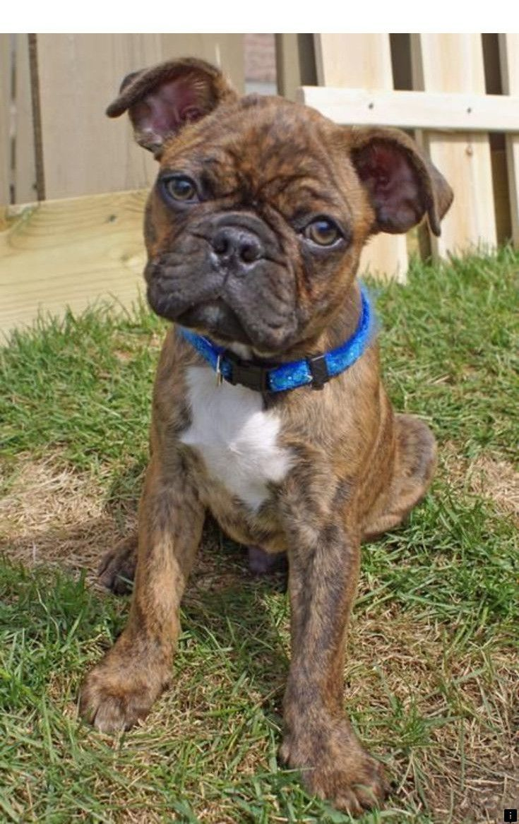 Read information on pug puppies near me click the link