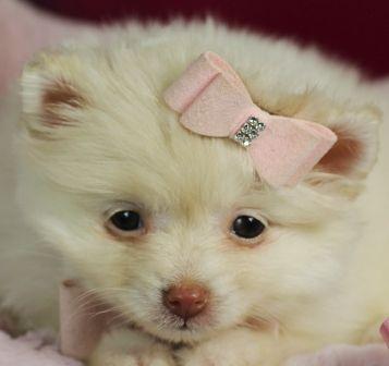 Teacup Pomeranian Puppies, Pomeranian dogs #teacuppomeranianpuppy Teacup Pomeranian Puppies, Pomeranian dogs #teacuppomeranianpuppy