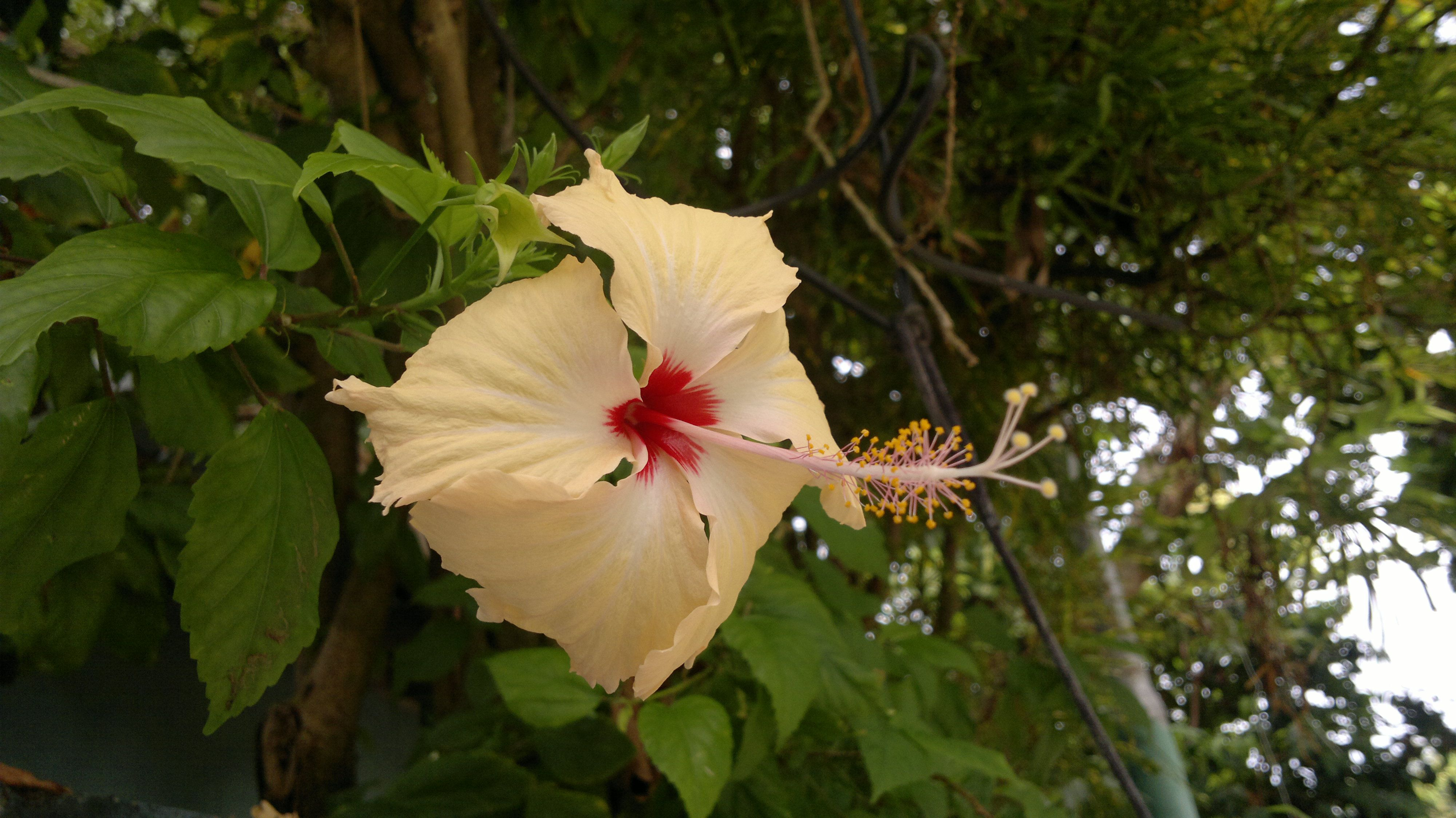 White Hibiscus..   Flowers   Pinterest   White hibiscus, Hibiscus ...