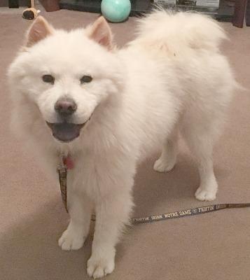 Adopt Yukio Courtesy Post Wichita Ks On Chow Chow Dogs Pets