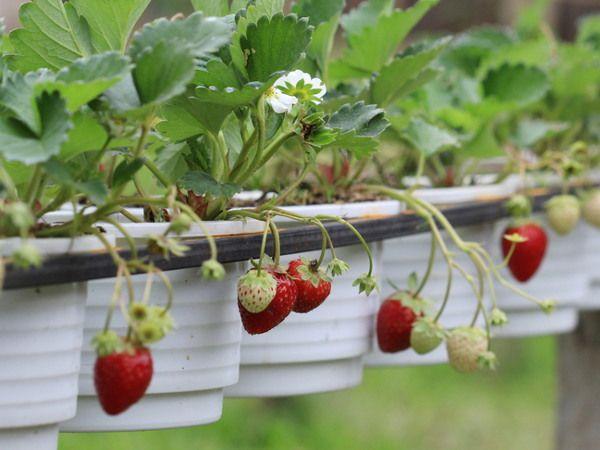 Truskawki Na Balkonie Odmiany Uprawa Kiedy Sadzic Berry Garden Container Gardening Veggie Garden