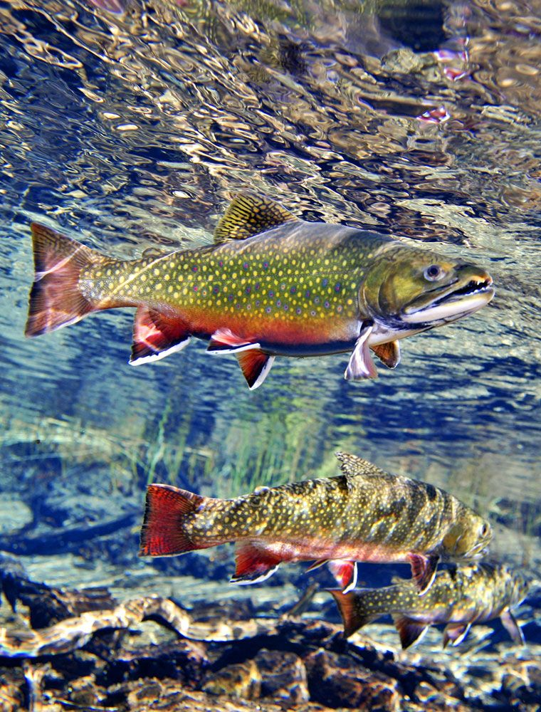 Brook Trout Trout Fishing Fish Trout