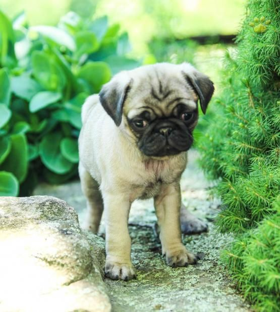 Lacey Pug Puppy For Sale In Allensville Pa Lancaster Puppies