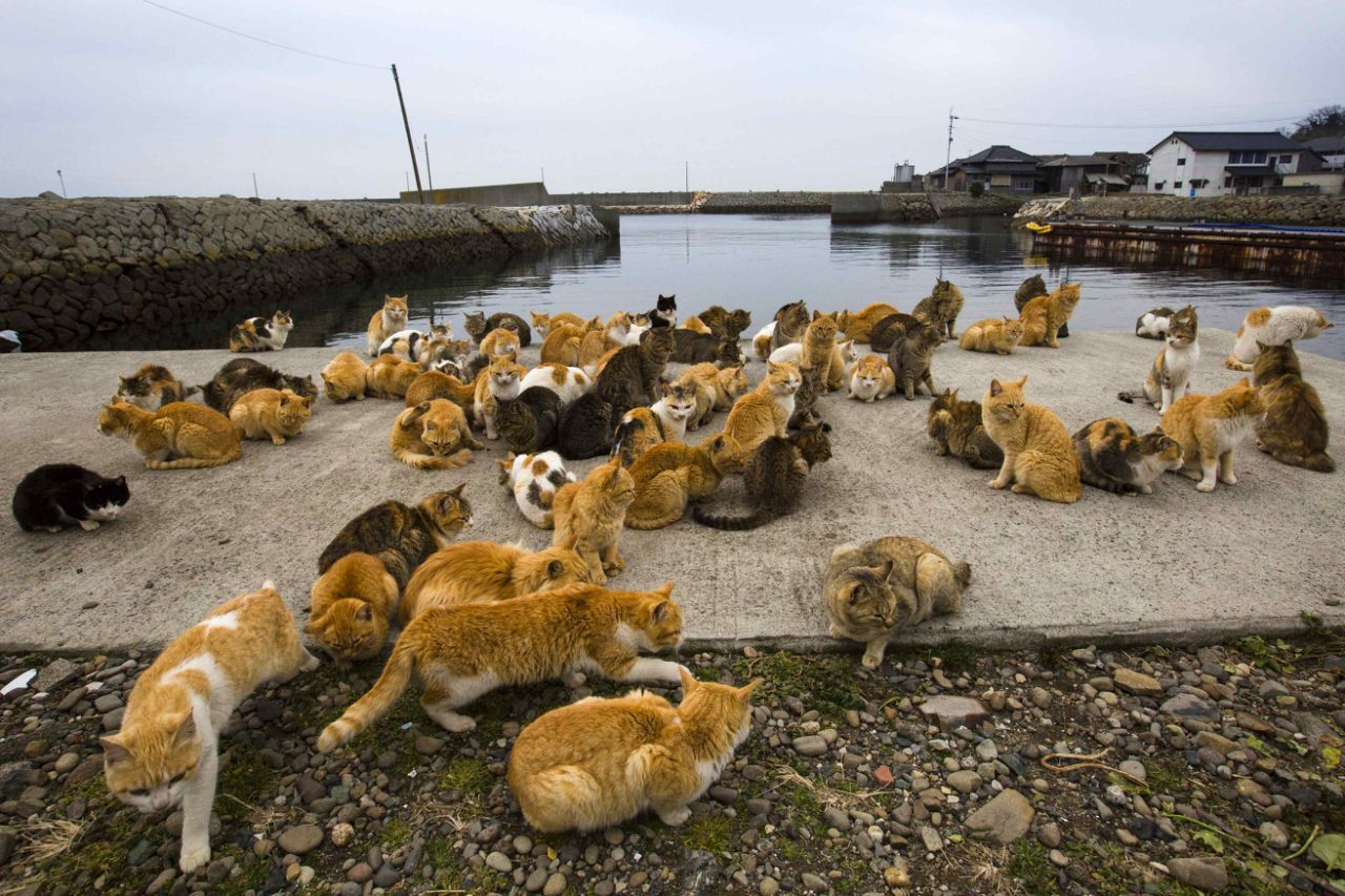 A clowder of cats crowd the harbour embankment on Aoshima Island in Ehime prefecture in southern Japan