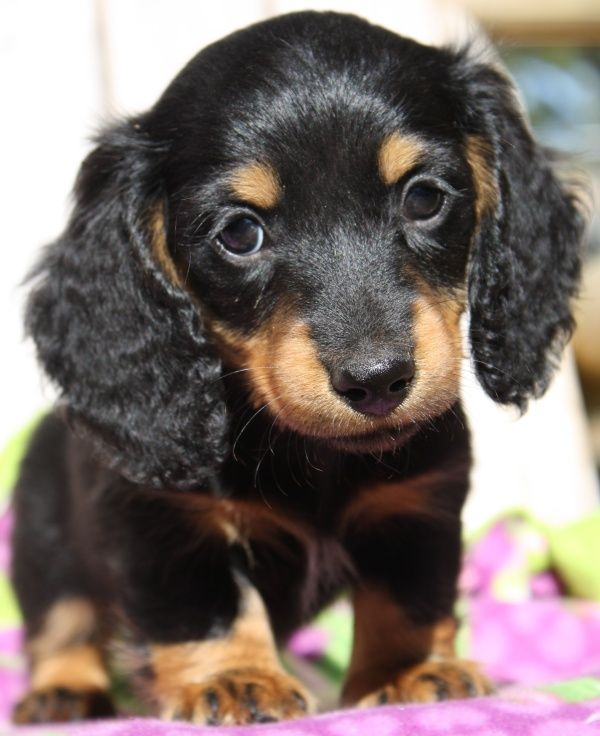 The Cutest Dachshund In The World Www Hpsbadtothebonekennels Com