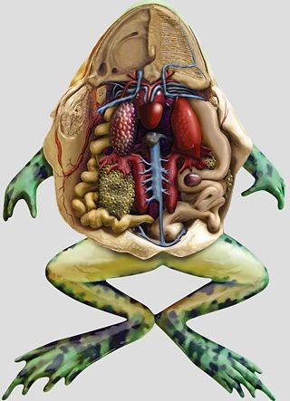 Anatomy of a frog natures gifts inside out pinterest frogs anatomy of a frog ccuart Images