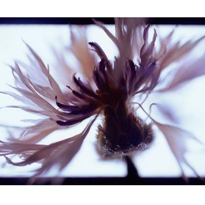Inflorescence 8 by Jo Holland | Photo Democracy