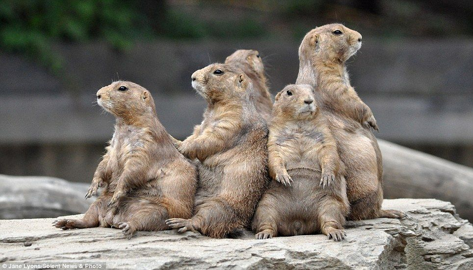 Right Spring S Here Time For A Diet Prairie Dogs Soak Up The