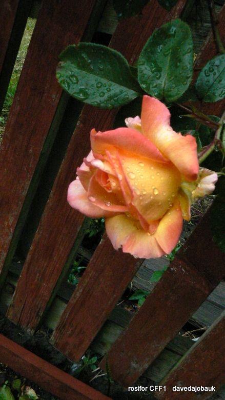Salford Roses