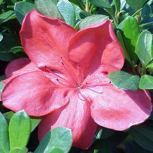 Azalea Imagenes De Flores Flores Plantas