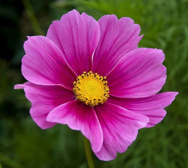 The Last Cosmos Cosmos Flowers Flowers Nature Virtual Flowers