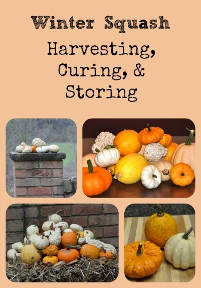 Describes How Winter Squash Should Be Harvested Cured And D For The Longest