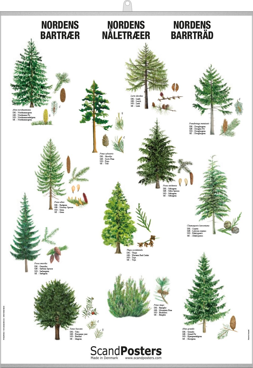 Coniferous Tree Poster Beautiful Poster With Trees Conifer Trees Tree Drawing Tree Identification