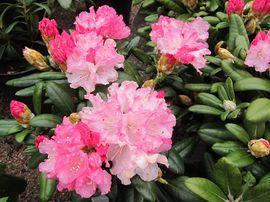 Rhododendron Royal Rosy ALPPIRUUSU