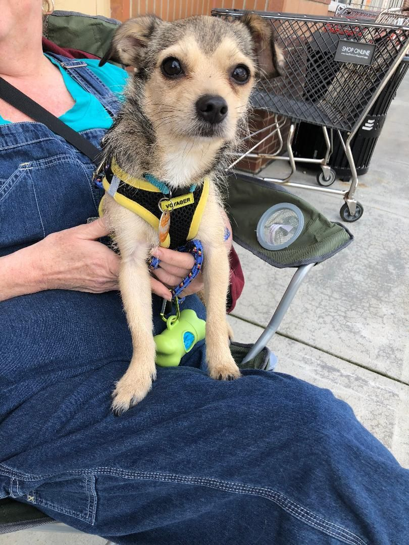 Adopt Tiger On Dogs Chihuahua Mix Yorkshire Terrier