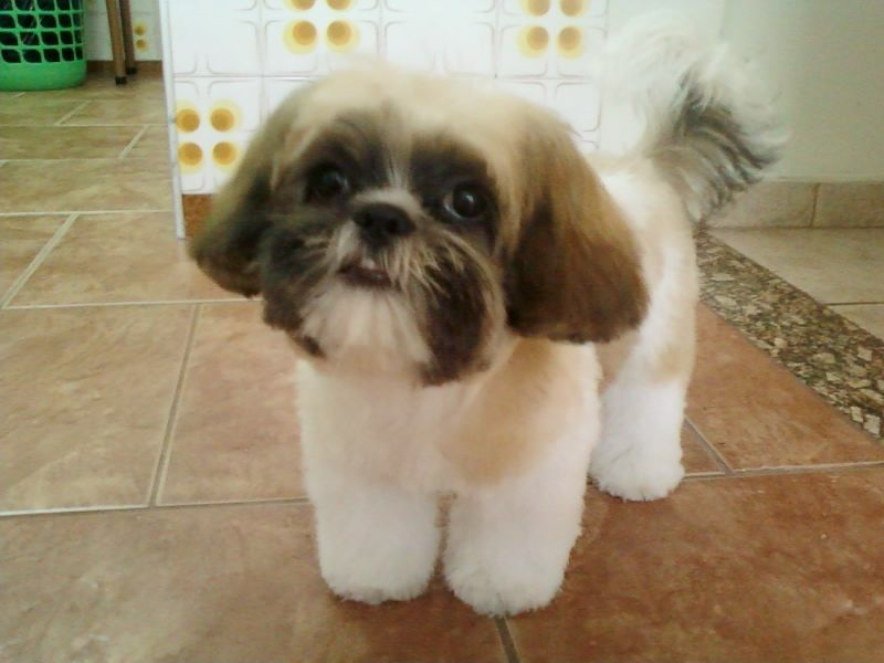 how to wash a shih tzu face