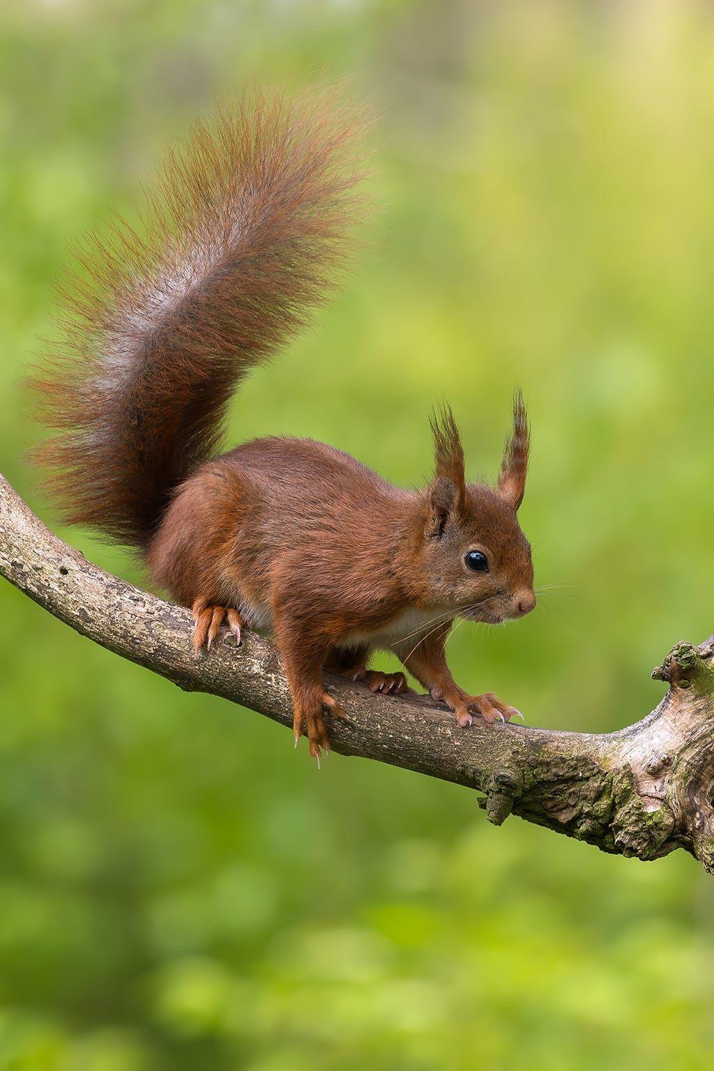 Red squirrel by Ivonne van Gool