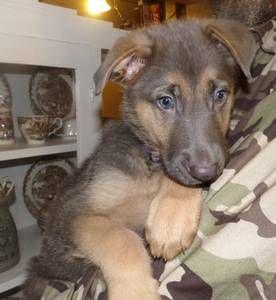 College Station Pets Akc German Shepherd Craigslist Puppies