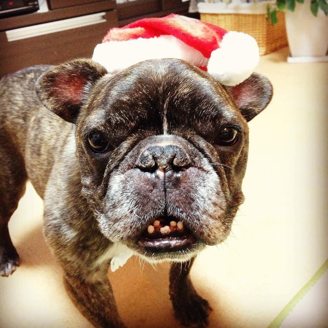 だいぶig放置からのマメリークリスマス 行徳はマメの12回目のバースデー Buhi Dog Frenchbulldogs フレンチブルドッグ マメの誕生日 君のこと 忘れた日は1日たりともないよ 三角王子 クリスマスが誕生日