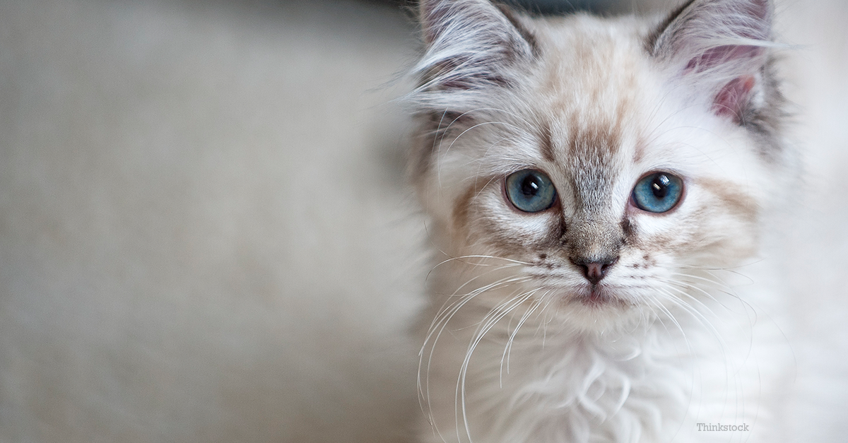Overview Feline heartworm disease is caused by a worm