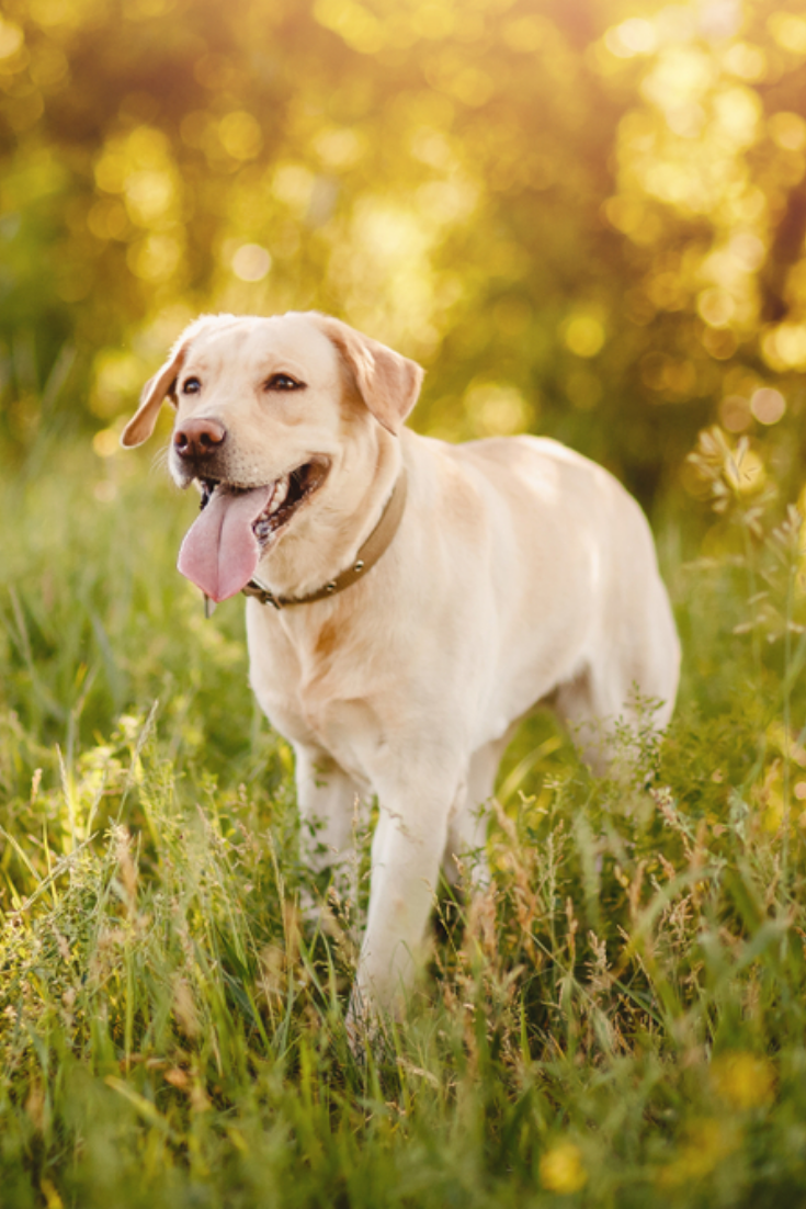 Active Smile And Happy Purebred Labrador Retriever Dog Outdoors In Grass Park On Sunny Summer Day Lab Labrador Retriever Retriever Golden Retriever Labrador
