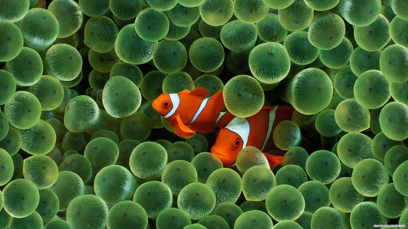 Clown Fish 1366x768 Free Hq Wallpapers Design 1366x768 Pixel Fish Wallpaper Clown Fish Underwater Wallpaper