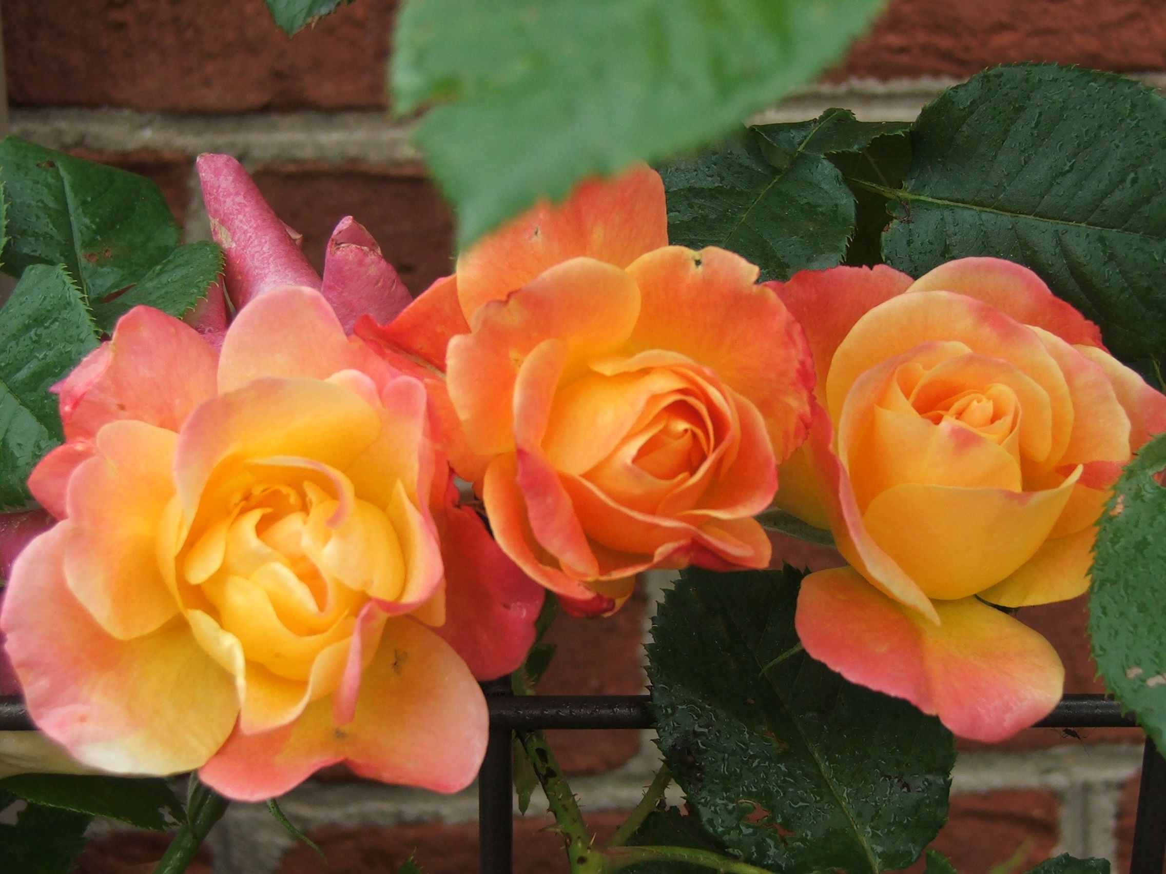 Joseph S Coat Of Many Colors Roses