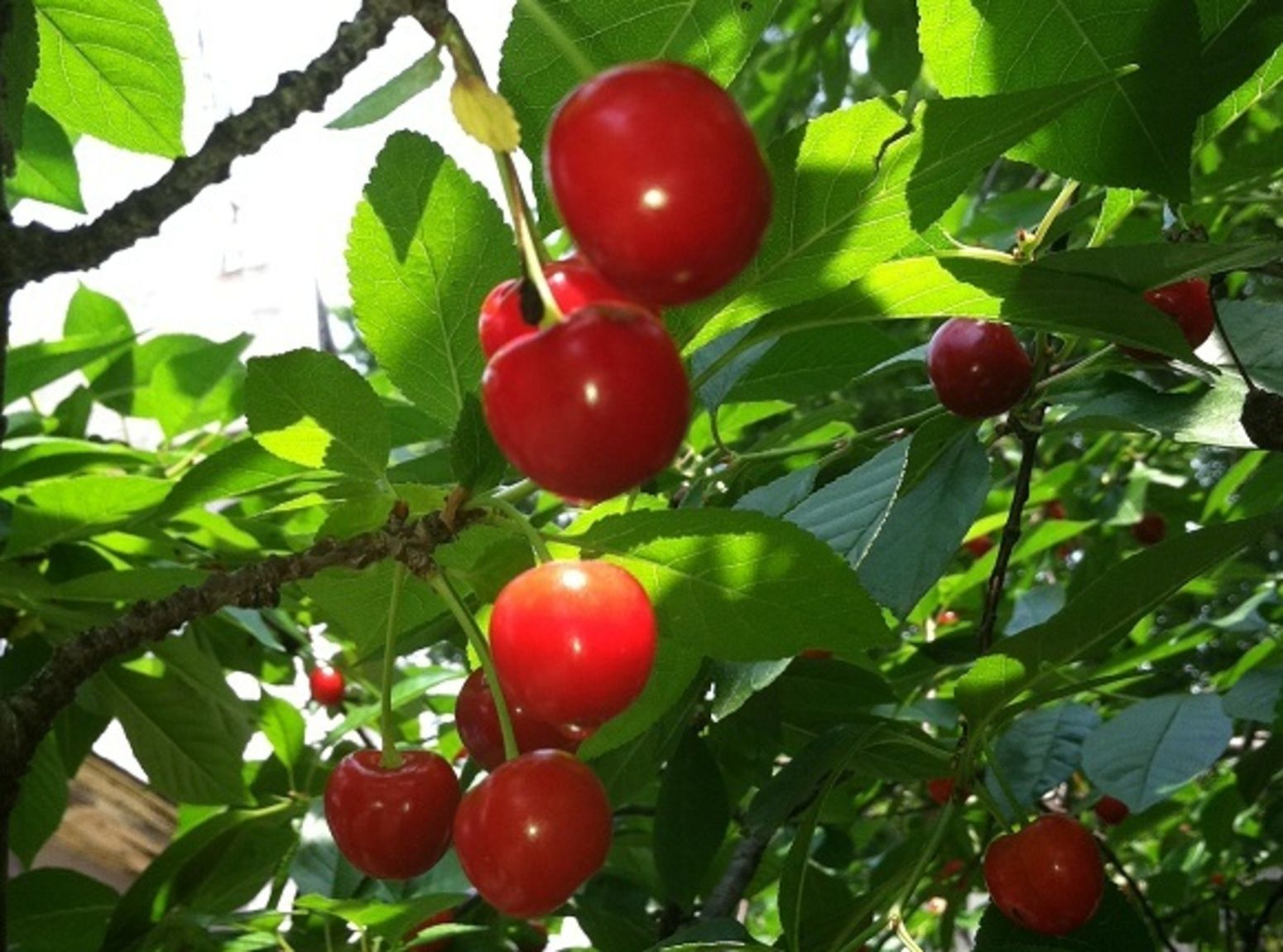 Cherry Pie Filling Recipe Cherry Tomato Plant Garden 400 x 300