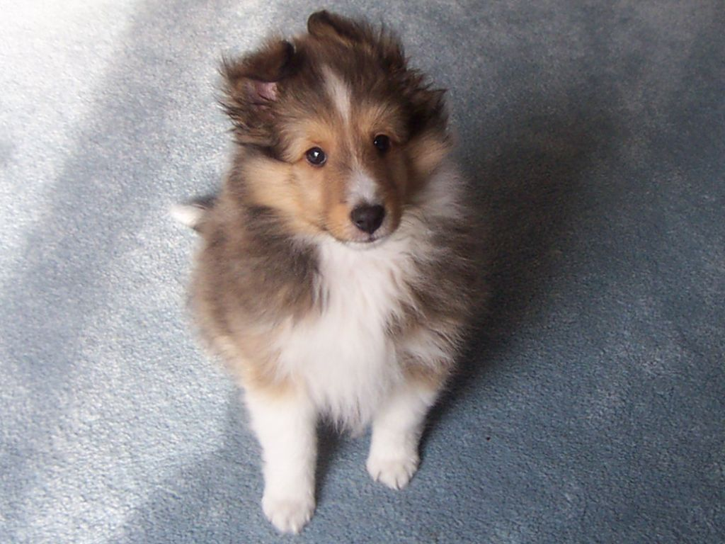 Pin By One Bark Plaza On Animals Rough Collie Puppy Collie Puppies Rough Collie