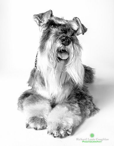 Schnauzer by Richard Louis Coughlan Photography | Dog ...
